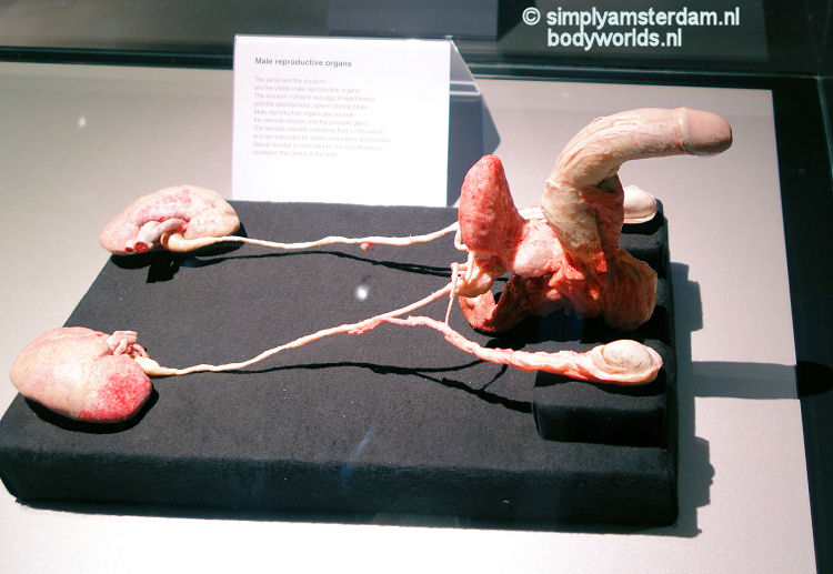 Male reproductive organs (Body Worlds, the Happiness Project)